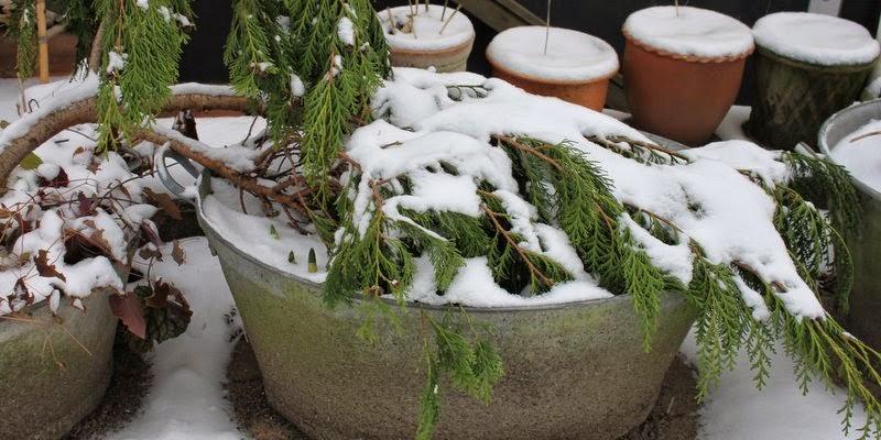 vinterdækning af stauder