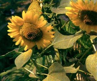 Obat sakit kepala dengan bunga matahari