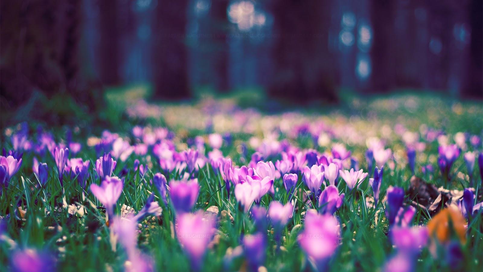 Bunga Tulip Ungu Wallpaper Bunga Ungu Liar