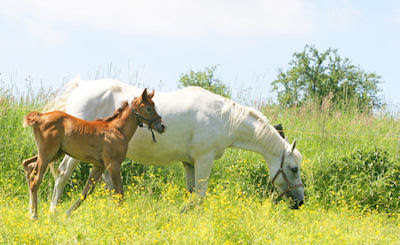 La yegua y su pequeño caballito comiendo pasto verde