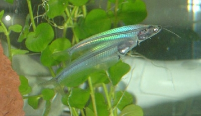 Glass Catfish Images,Pics,Wallpapers,Photos.....
