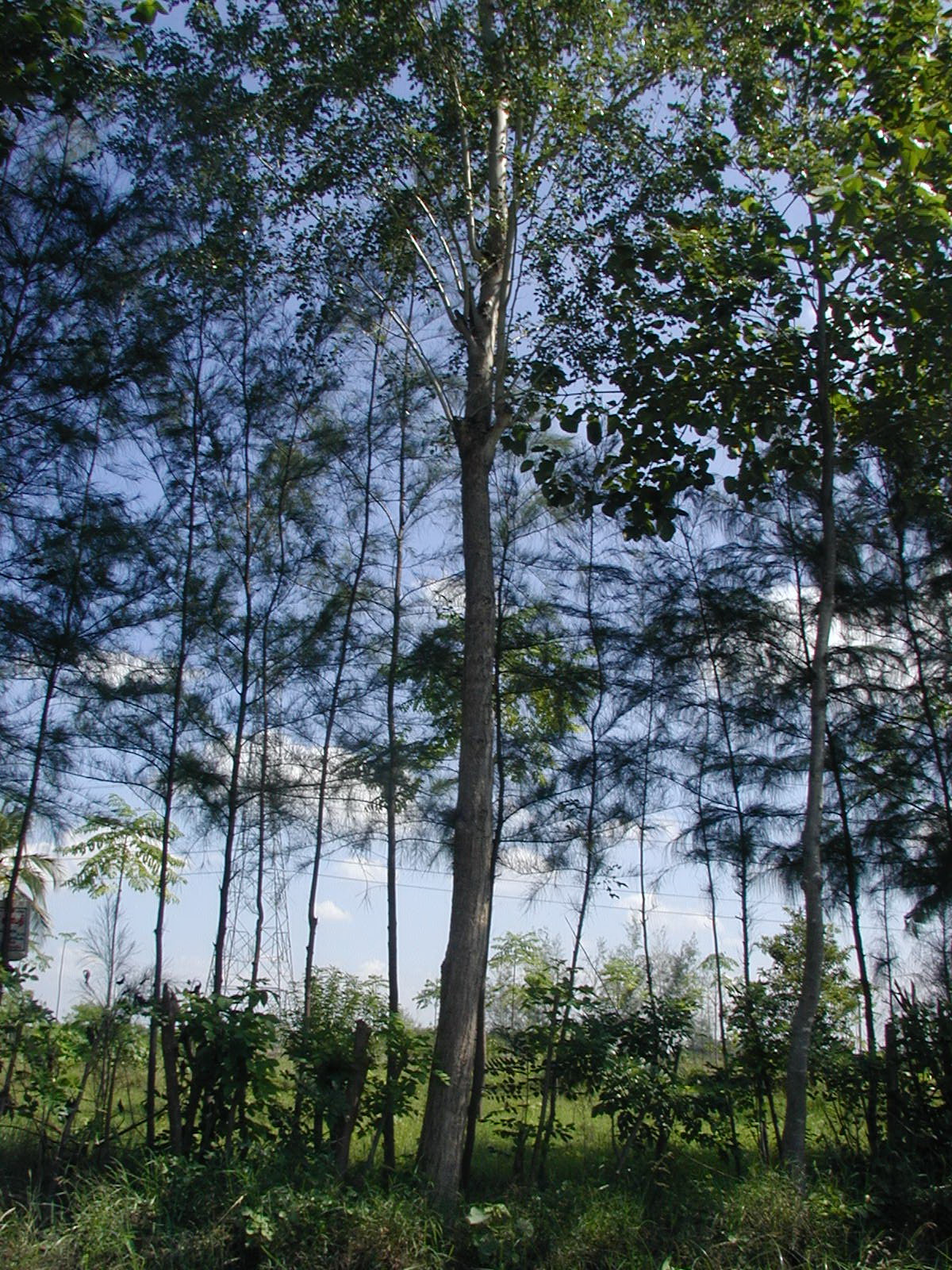Image Result For Sissoo Tree Roots