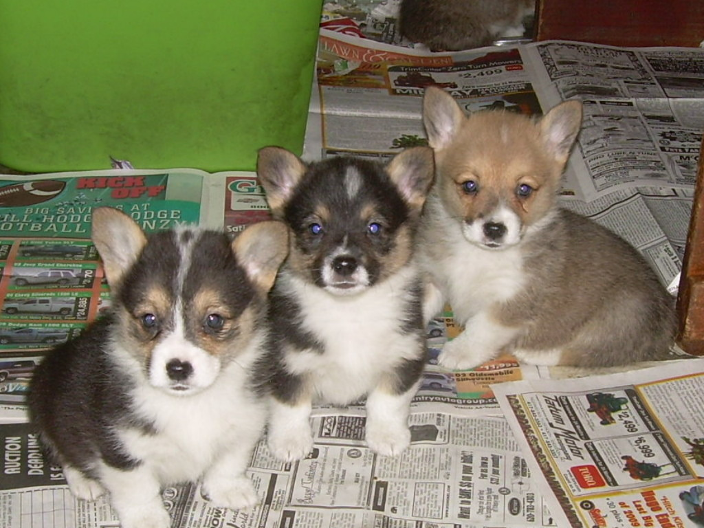 Cardigan Welsh Corgi Puppies wallpaper background
