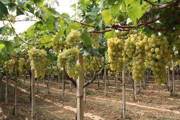 Ginosa news ginosanews luci ed ombre per l uva da tavola pesa lo stop russo - Uva da tavola bianca ...