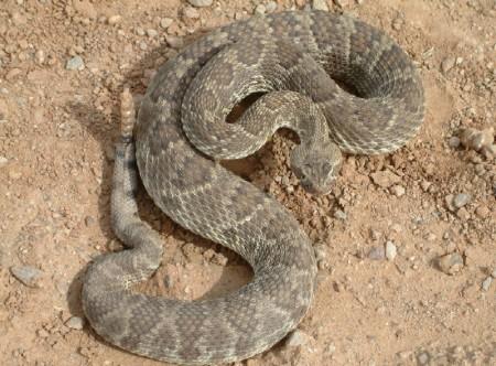[Image: mojave-rattlesnake.jpg]