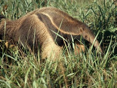oso-hormiguero-animales-raros