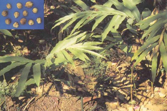 Amomum kravanh Pierre ex Gagnep. (Fam. Zingiberaceae)