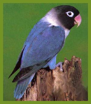 Burung Labet Pastel Biru