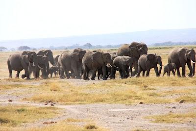 elefantes, elefants africa, elefantes africa, amboseli, parque nacional de Amboseli, Amboseli national park, africa, kenya