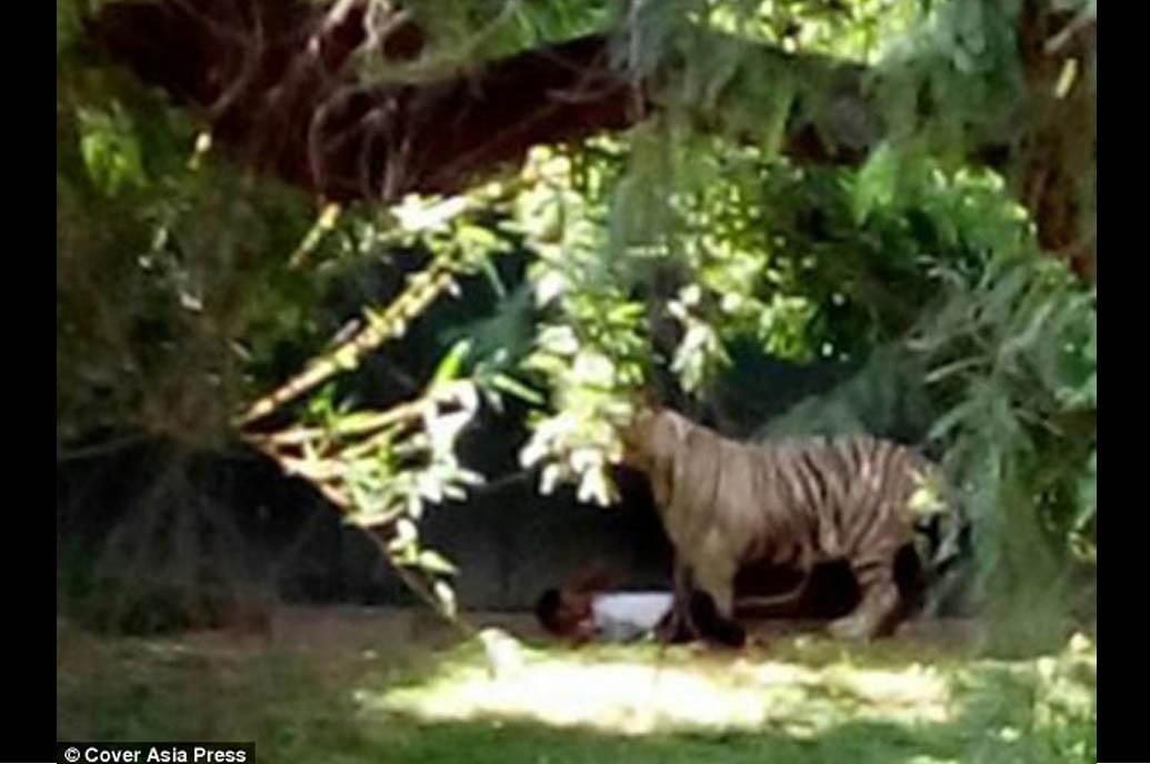 harimau bunuh orang