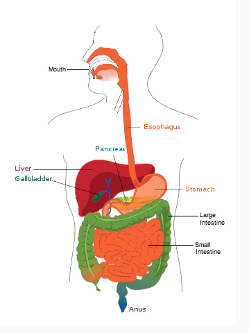 Draw And Label A Diagram Of The Digestive System Biology The