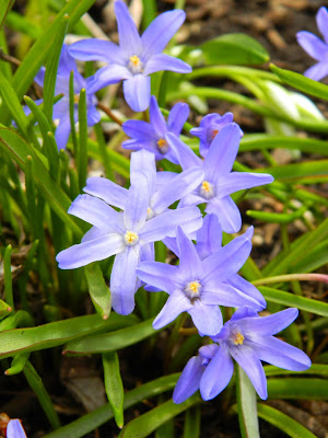 Chionodoxa Glory of the Snow by garden muses-not another Toronto gardening blog