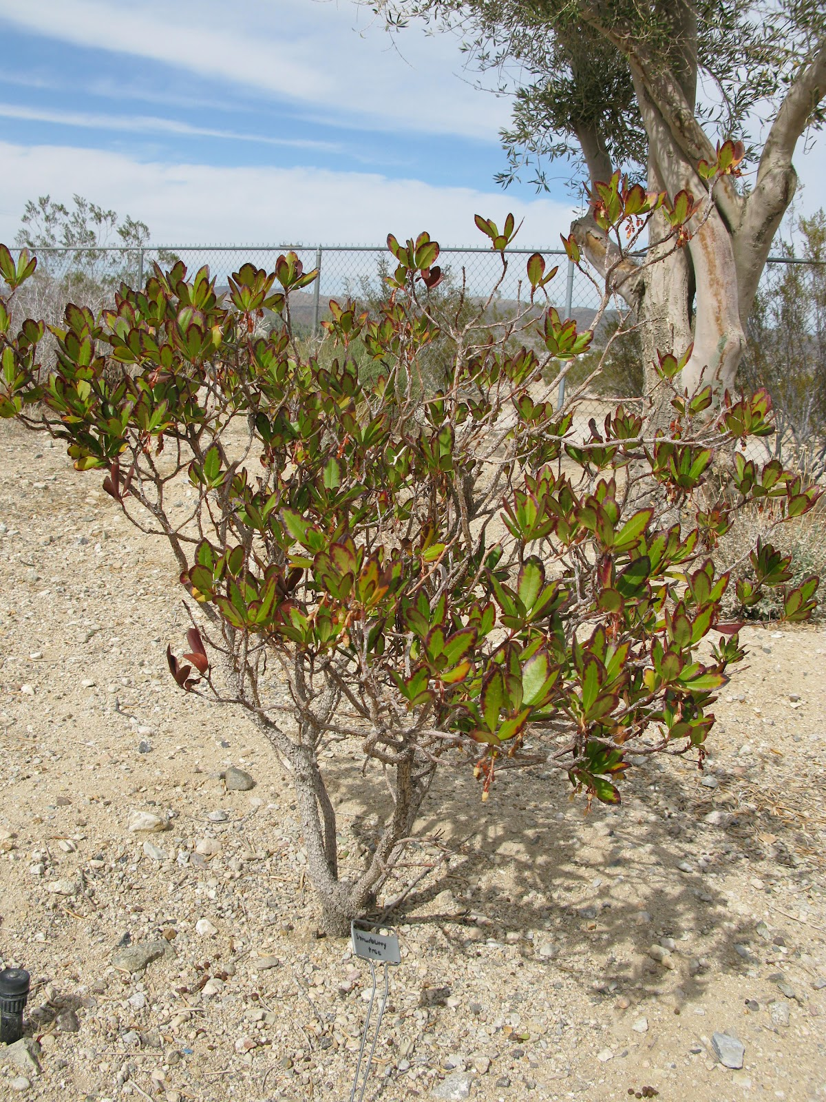 Roadrunners and figgy pudding whatz that barstow for Small slow growing evergreen trees