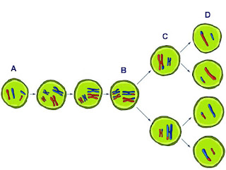meiosis diagram