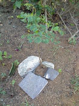 Plantei esta árvore dia 21/10/2011
