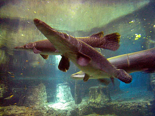 Alligator Gar Wallpapers