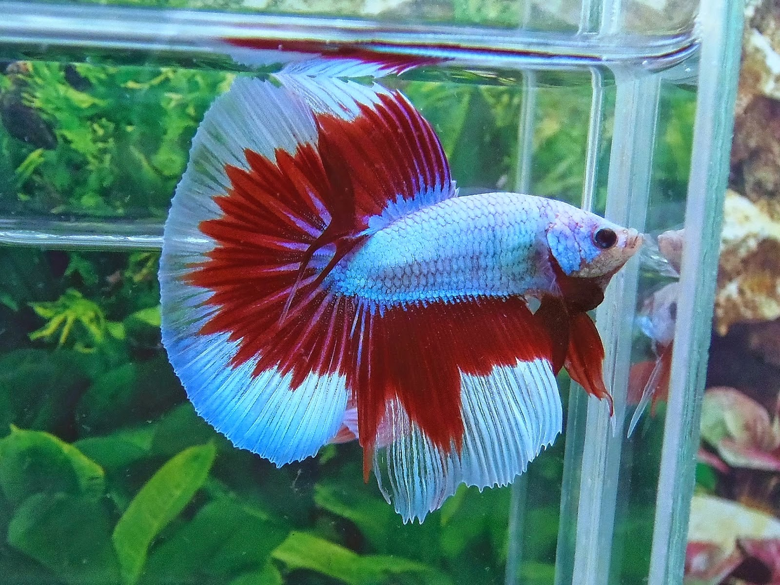 BILLY\'S BETTAS: YOU CAN\'T HAVE JUST ONE