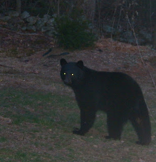Black Bear (Ursus americanus) Visits my Yard