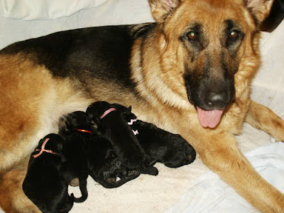 Chó con đang bú mẹ. Ảnh minh họa.