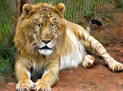 Lima Hewan Predator Hasil Kawin Silang Paling Menakjubkan di Dunia