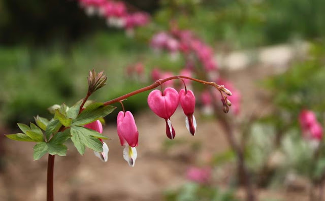 Bleeding Heart Flowers Pictures