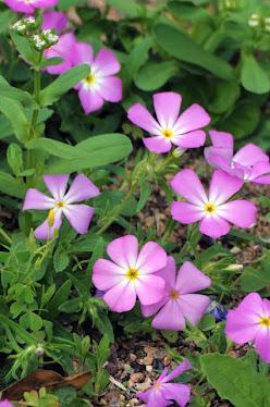 Drummond's Wild Petunia Ruellia drummondiana