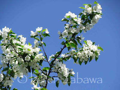 White apple blossoms against a deep blue sky in Port Credit Mississauga Ontario.