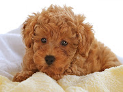 Poodle Puppy Pictures Information