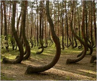 ครุ๊ก ฟอเรส (Crooked Forest)