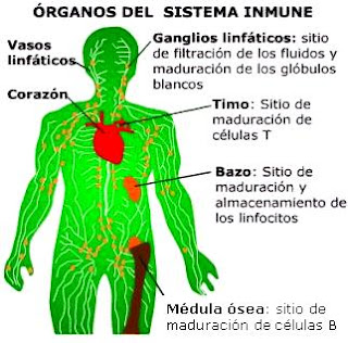 Dibujo de los órganos del Sistema Inmune