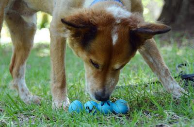 Brisbane investigates the JW Pet Caterpillar toy
