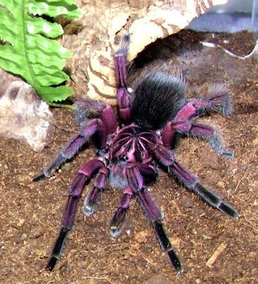 fotos - Tarántulas , Arañas, fotos de arañas Tarántulas, imágenes de arañas Tarántulas.