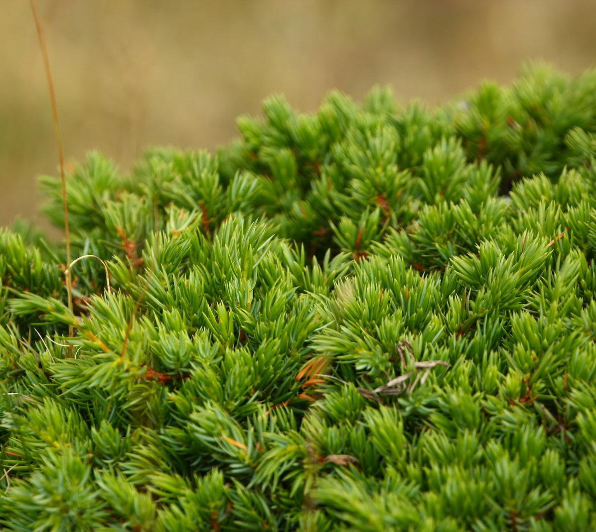 Piruja este blog es el antiguo por favor ir al nuevo el for Arboles ornamentales de hoja perenne