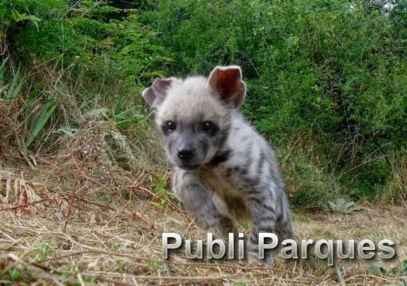 hiena de terra natura