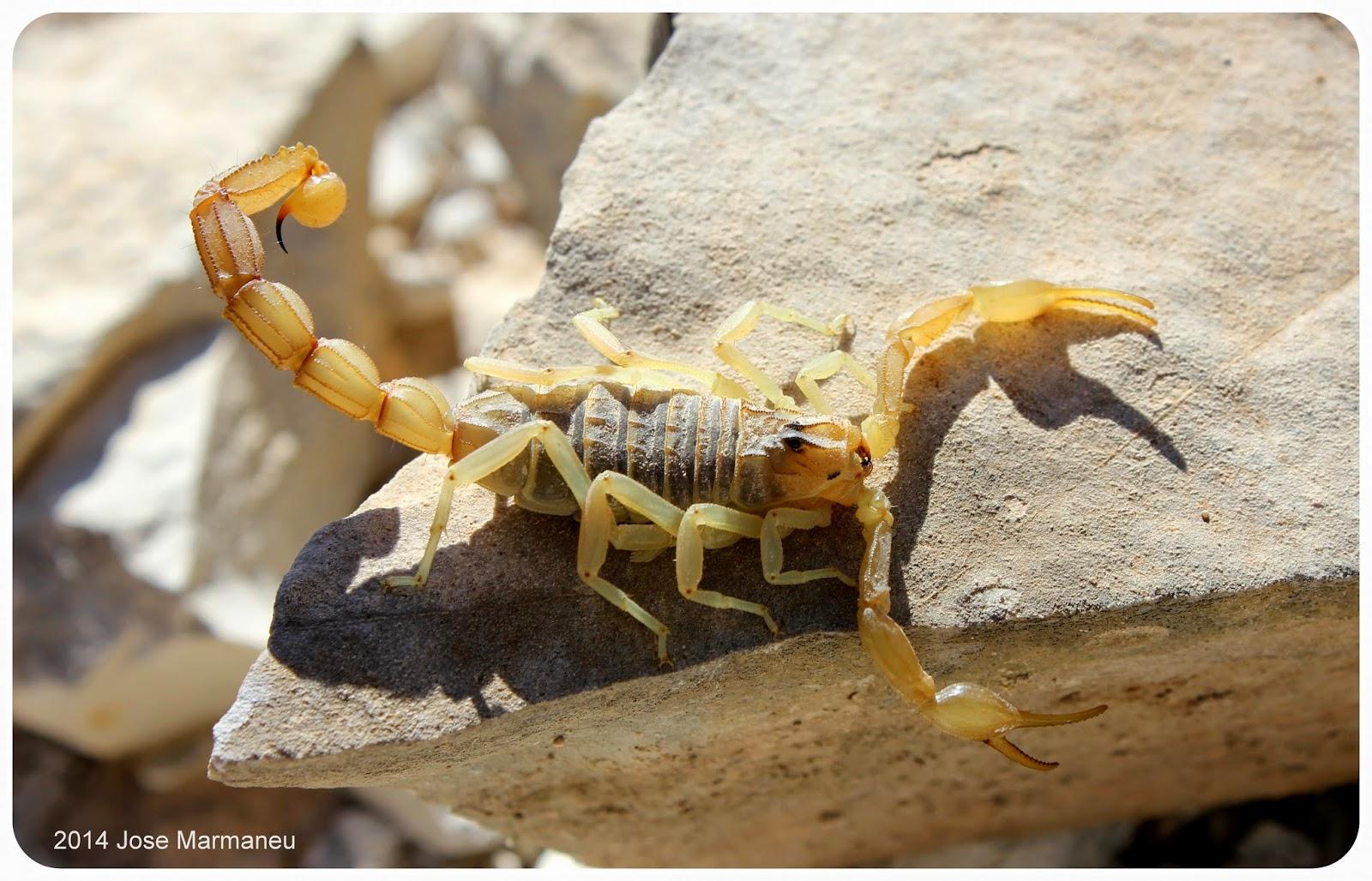 Anatomía externa de un escorpión | Grubial