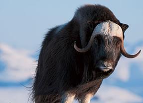 Muskox Bull