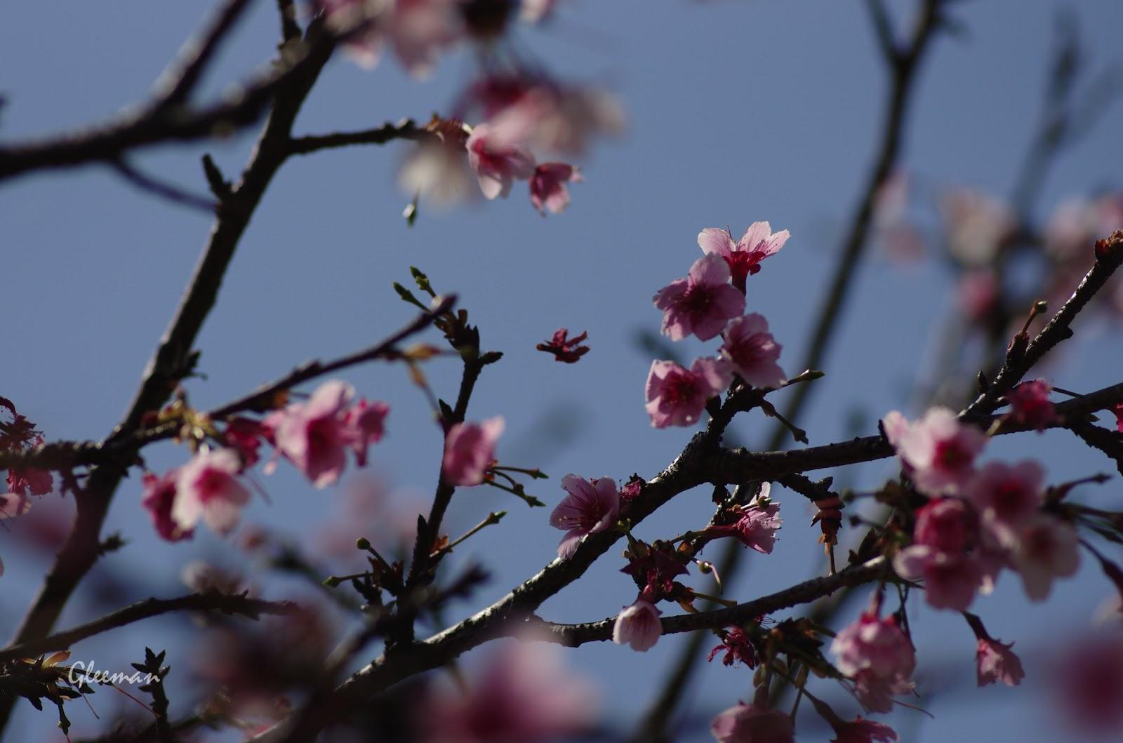 雞南山腳的櫻花,吹雪