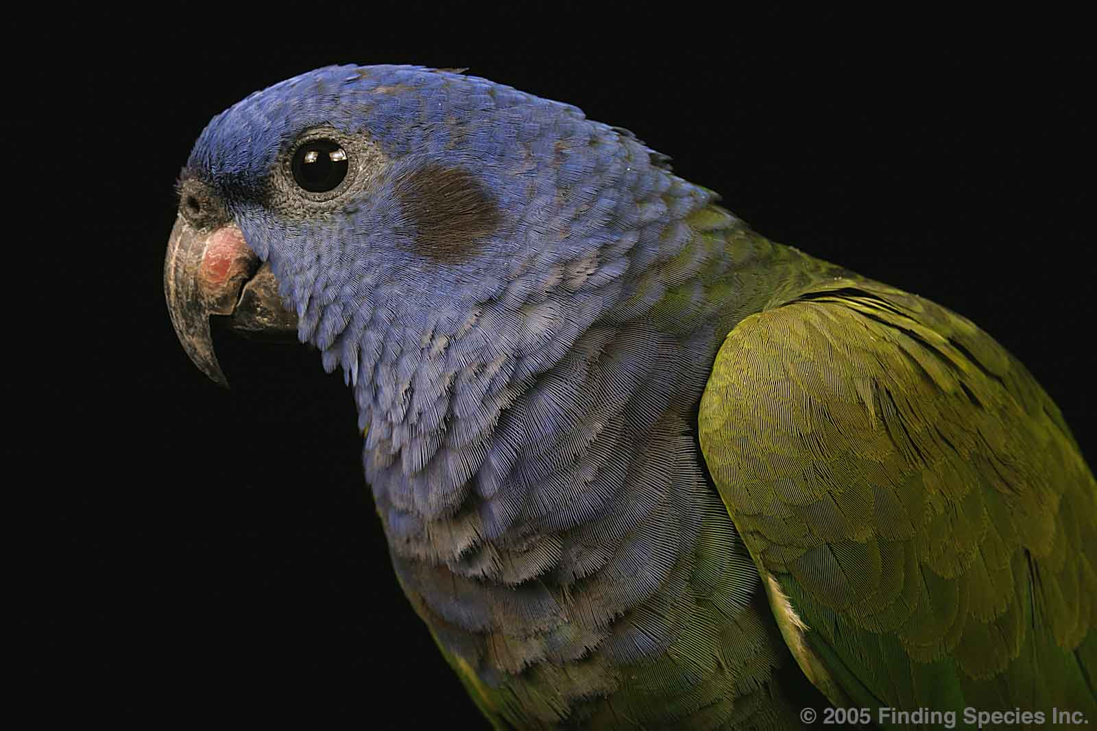 Parrot  Wikipedia