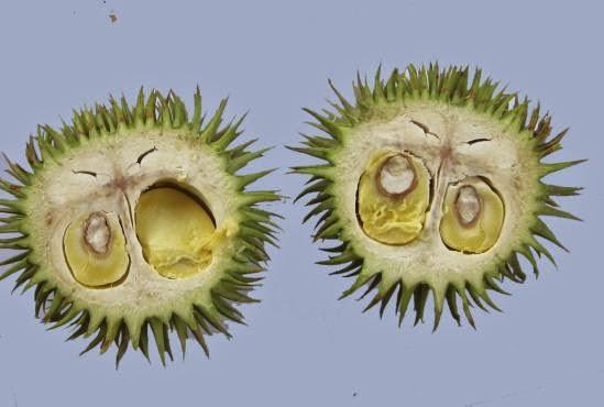 Teretung (Durio oxleyanus)