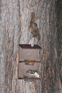 Flying squirrels on a feeder.