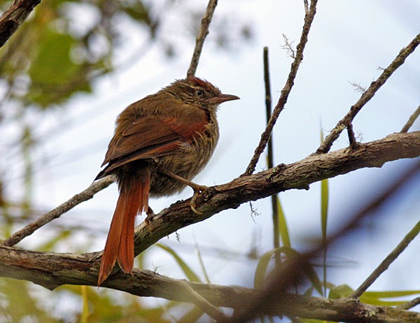 STREAKED-CAPPED SPINETAIL (?)