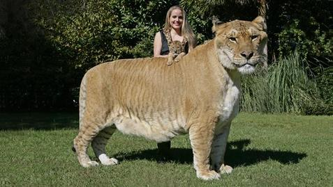 Ligar kombinacija lava i tigra