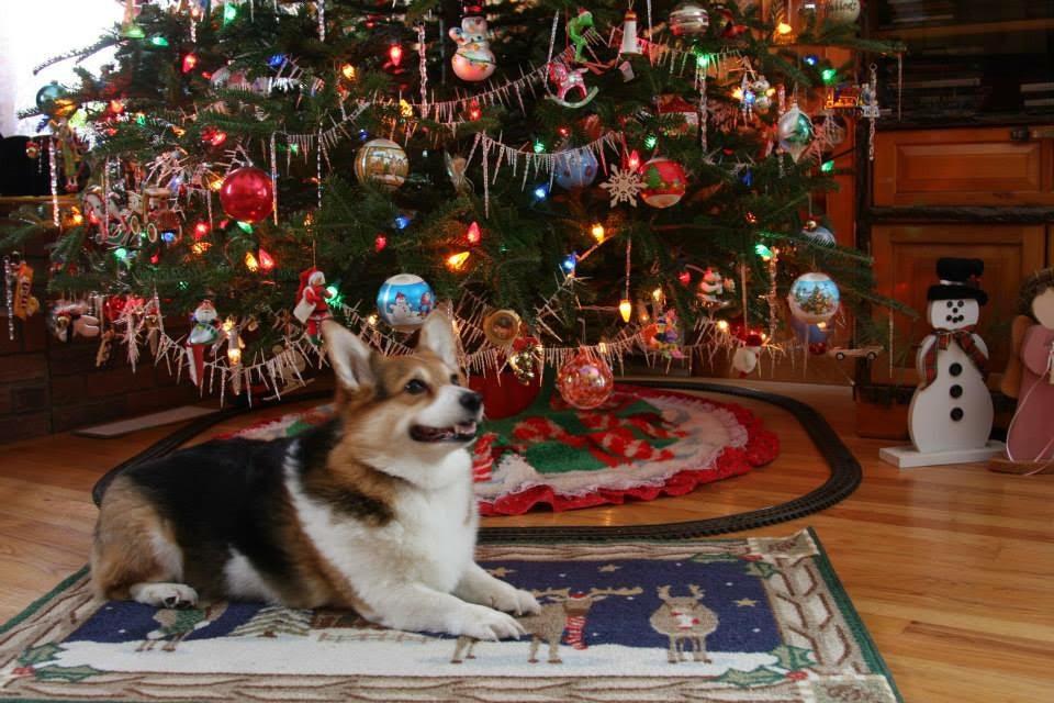 hanukkah is for corgis too - Christmas Corgi