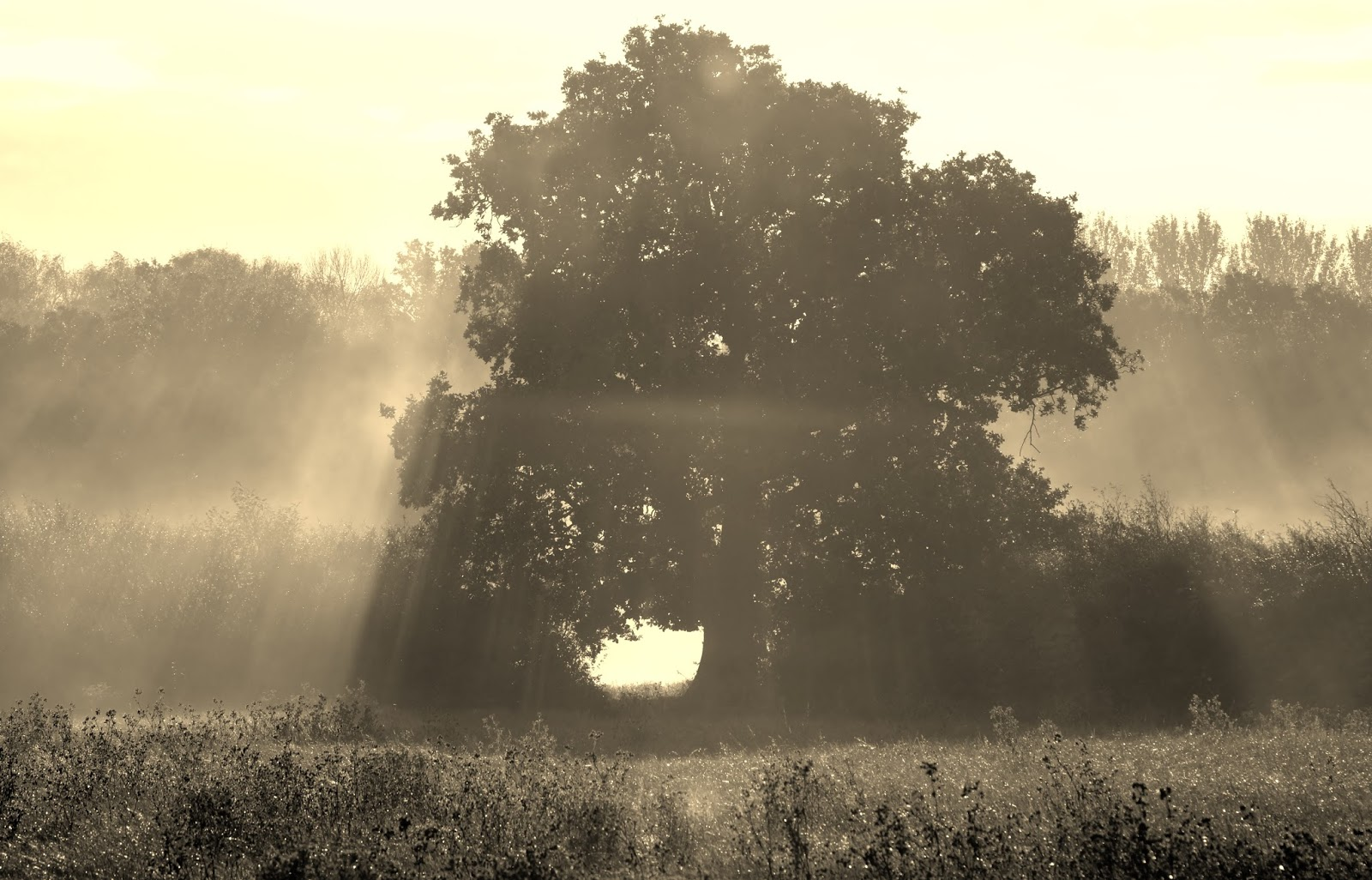 Friars Oak Fields misty tree