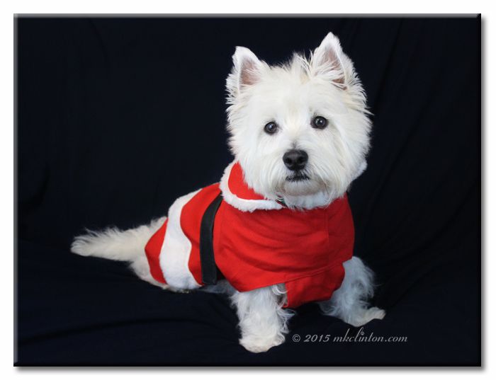 Pierre the Westie in Santa Claus suit