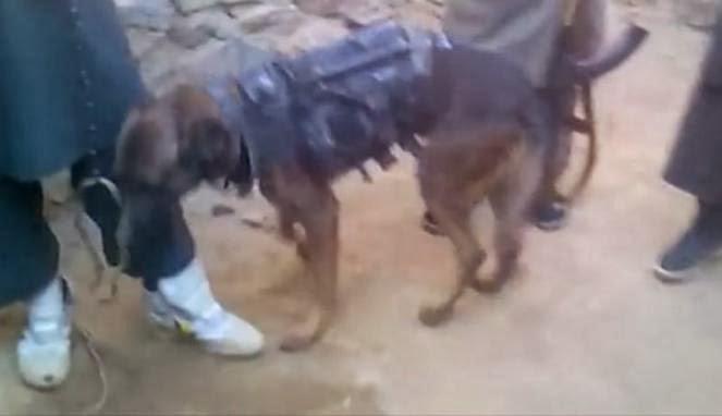 Taliban Culik Anjing Pelacak Milik Militer Inggris