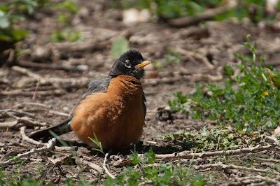 American Robin, Kountze Lake