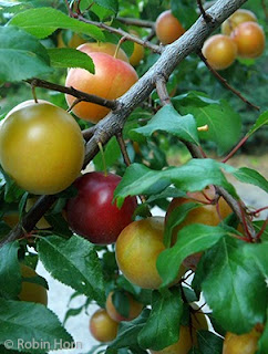 Branches Loaded with Multicolor Plums
