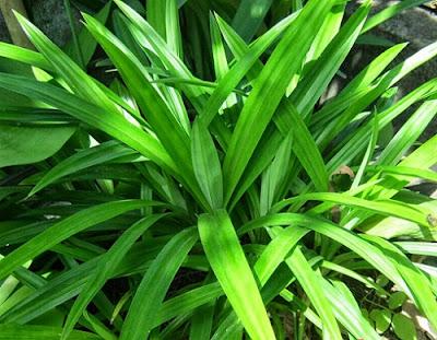 Bài thuốc dân gian chữa bệnh phong thấp từ lá dứa