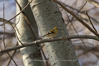 American Goldfinch Male Winter Colors Bird Photography Tips by Dakota Visions Photography LLC